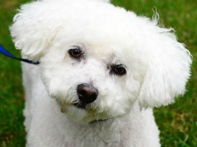 bichon frise vs maltese bichon frise information dog breeds at thepetowners 5141