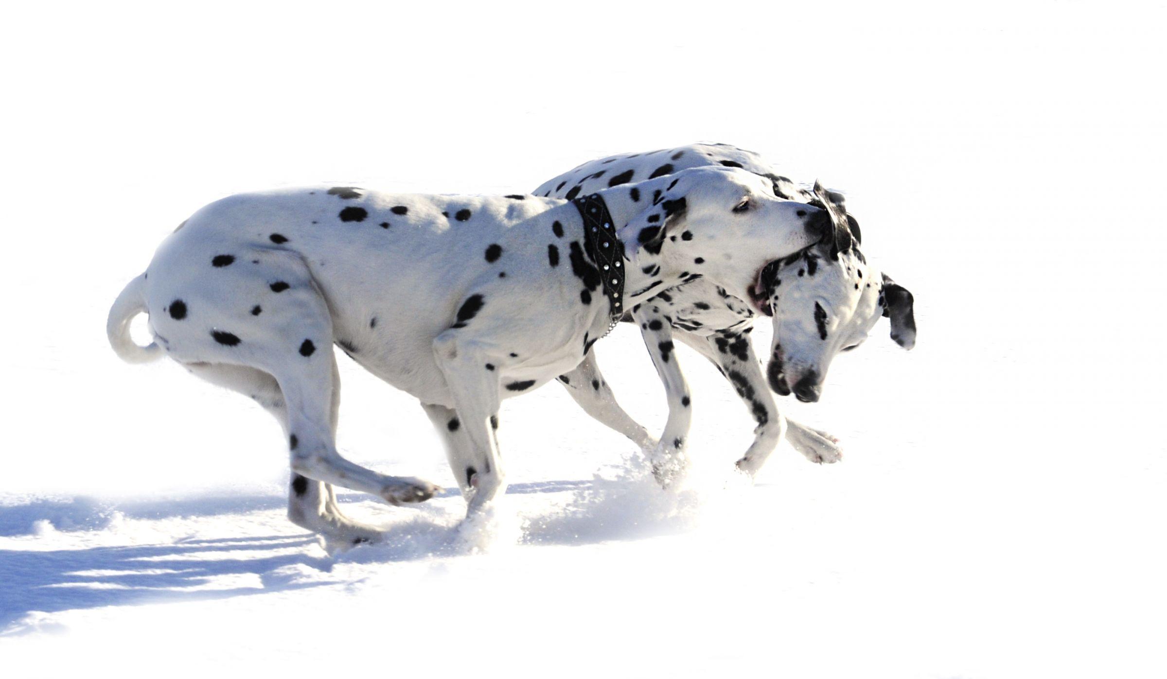 Dalmatian Information - Dog Breeds at thepetowners